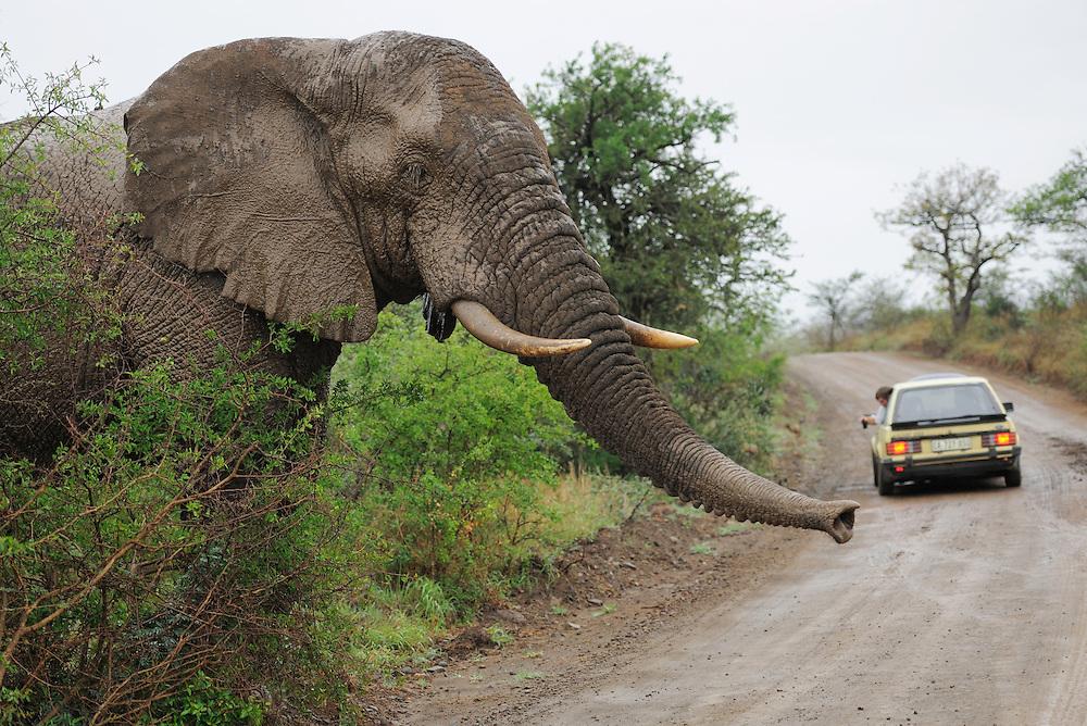 Elephant, Loxodonta africana,<br />  iMfolozi NP, South Africa