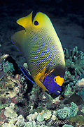 yellowface, yellow-masked, yellowmask, blueface, yellow-faced, blue-face or blue-faced angelfish, Pomacanthus xanthometopon, Sipadan Island, Borneo, Malaysia