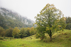Maple tree in the field with mountain in the background, Bavaria, Germany