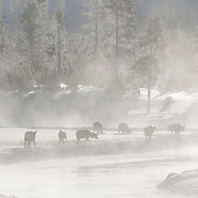 Elk (Cervus canadensis) along the Madison River. Yellowstone National Park