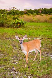 key deer, Odocoileus virginianus clavium, foraging at dusk, a subspecies of white-tailed deer, Odocoileus virginianus, endangered species, Big Pine Key, Florida Keys, Florida, USA