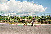 Horse and cart, Cuba Banana plantation in the background