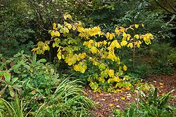 Hamamelis x intermedia 'Pallida' syn. H.mollis 'Pallida' - Witch hazel in autumn colour