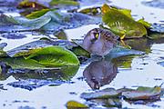 A sora (Porzana carolina) forages for insects among the water lilies on Juanita Bay in Kirkland, Washington.