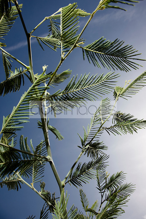 Close up of mimosa tree branches                                 Mimosa tenuiflora