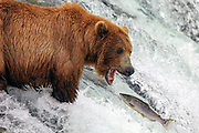 Alaskan Brown bear attempts to catch a salmon at Brooks Falls in Katmai National Park, Alaska.
