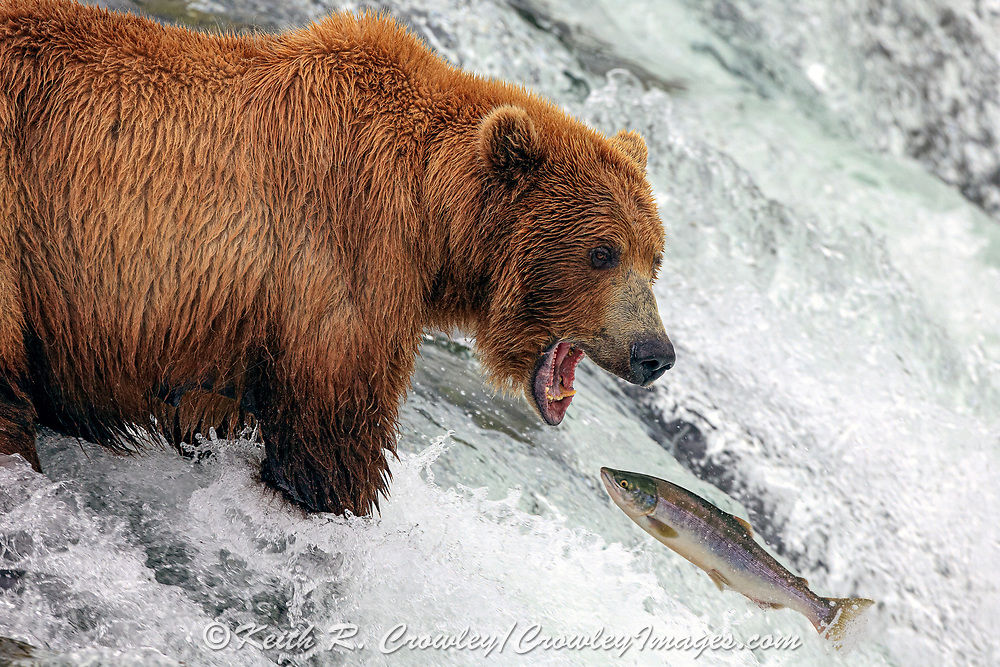Alaskan Brown bear attempts to catch a salmon at Brooks Falls in Katmai National Park, Alaska.