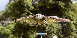 © Licensed to London News Pictures.03/08/2016. Thornton Le Dale, UK.  Lizzie, a Verreaux's giant eagle owl, gives a flying demonstration at the annual Thornton-le-Dale Show, Pickering, North Yorkshire.  Photo credit: Anna Gowthorpe/LNP
