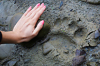 Woman's hand in comparison to track of Brown bear (Ursus arctos) on a sandy patch at the banks of the San River. Krywe Nature Reserve, Bieszczady region, Poland.