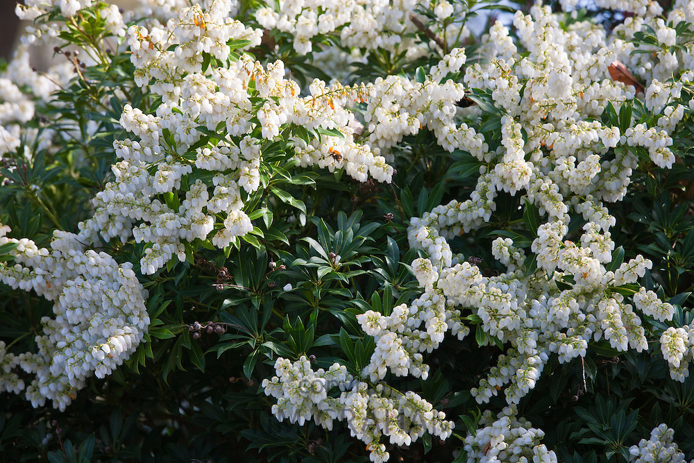 Attractive to honeybees, white flowering Pieris Forest Flame shrub in a country garden in Cornwall, England, UK