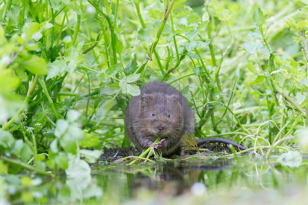 © under license to London News Pictures. 04/09/13 Kent UK. A water vole eats on a river bank. Photographer Ian Schofield sat in a river for over 12 hours wearing waders along with his camera and tripod to capture these stunning shots of one of Britain's rarest animals, the water vole. He waited from 7am before a flurry of activity at lunchtime when one of the most endangered mammals in the UK became hungry and left its burrow. Nearly 90% of water voles have disappeared in the last decade from the UK, mainly due to habitat loss and predators such as the American mink. The water vole's habitat can be found throughout England, Wales and Scotland. Photo credit should read IAN SCHOFIELD/LNP<br /> <br /> EDITORS NOTE IAN SCHOFIELD CONTACTABLE ON 07989749791