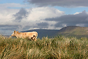 "Cow, with the famous Ben Bulben mountain in the background, Sligo, Ireland, in ""Yeats"" Country"