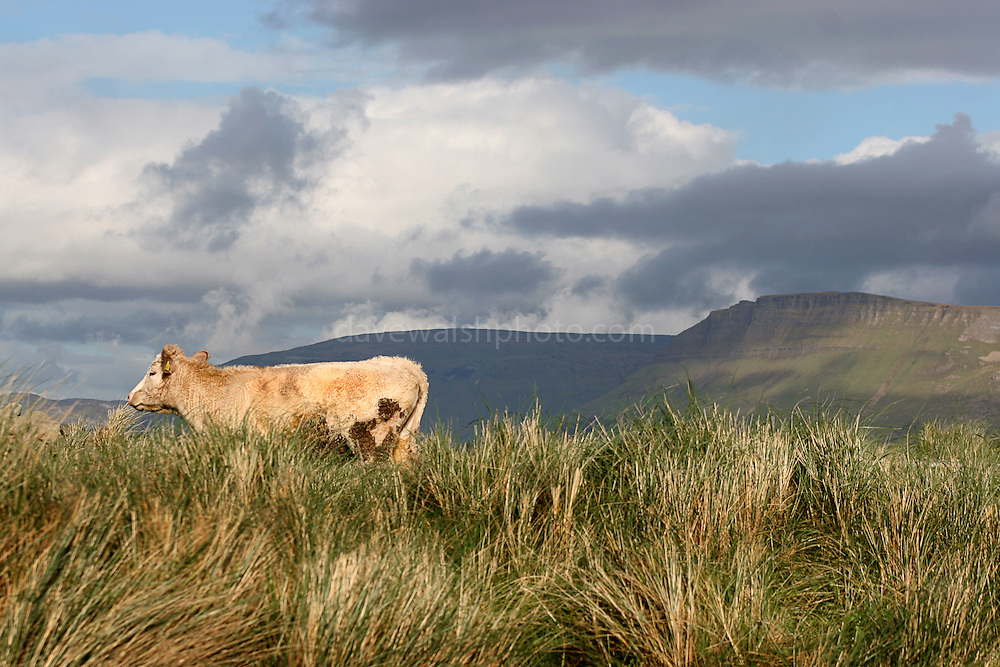 """Cow, with the famous Ben Bulben mountain in the background, Sligo, Ireland, in """"Yeats"""" Country"""