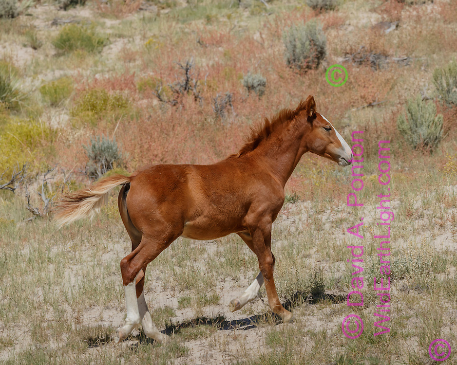 Mustang filly trots through badlands landscape in northwestern New Mexico to catch up with mother, members of a small free-ranging band, © David A. Ponton
