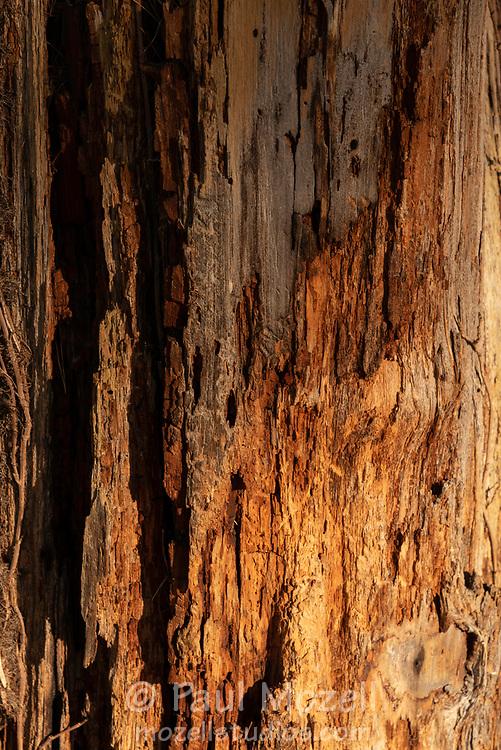 Aging tree stump