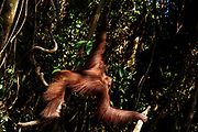 An adult orang-utan climbs through the trees on Salat Island pre-release site, run by the Borneo Orangutan Survival Foundation BOSF, in Central Kalimantan, Borneo, Indonesia on 27th May 2017. In this last stage of rehabilitation, the animals are observed as they learn how to forage for their own food and live independently. The island was established in partnership between BOSF and PT SSMS, a local palm oil company, who are both members of the Roundtable on Sustainable Palm Oil.