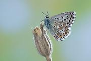 Adonis Blue Butterfly, Lysandra bellargus, United Kingdom, perched on flowering stem