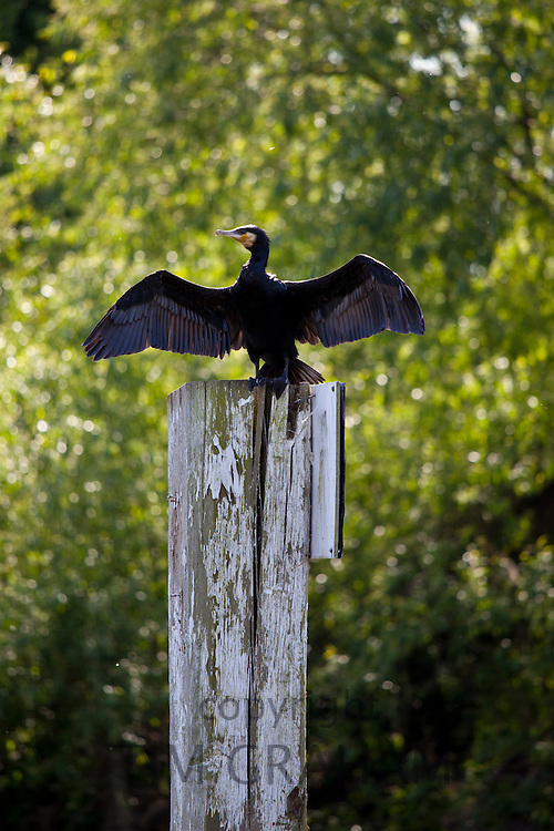 Cormorant bird drying wings in the sunshine, the River Thames in Berkshire, UK