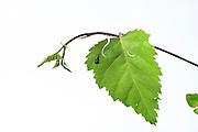 Birch leaf-roller (Deporaus betulae) , The Biosphere Reserve 'Niedersächsische Elbtalaue' (Lower Saxonian Elbe Valley), Germany (sequence 3/8) | Obwohl sie die ganze Zeit durch das aufreitende Männchen belastet war, hat das Weibchen des Birkenblattrollers oder Trichterwicklers (Deporaus betulae) zwei geschwungene Schnitte in das Birkenblatt beißen können. Die Hauptachse des Blatter ist angebissen, aber hält noch zusammen. Nun wartet das Weibchen, bis das Blatt mangels Versorgung durch die angebissene Mittelrippe zu welken beginnt und schlaff nach unten hängt.