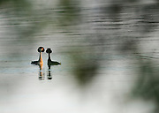 Pair of great crested grebe (Podiceps cristatus), courtship display, Stechlinsee, Germany | Balzende Haubentaucher (Podiceps cristatus) Stechlinsee, Deutschland