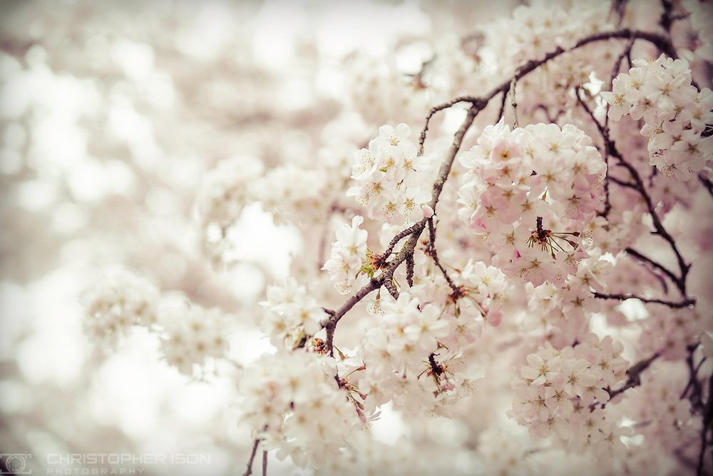 Cherry blossom near Chichester.<br /> Picture date: Wednesday March 20, 2019.<br /> Photograph by Christopher Ison ©<br /> 07544044177<br /> chris@christopherison.com<br /> www.christopherison.com