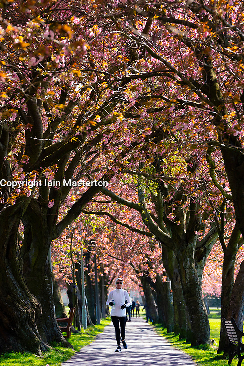 Edinburgh, Scotland, UK. 21April 2020. Warm sunny weather in Edinburgh. Woman exercising during coronavirus lockdown by running along footpath lined with cherry blossom trees in The Meadows park in Edinburgh.  Iain Masterton/Alamy Live News