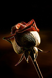 An isolated rose outline with an edge on the details