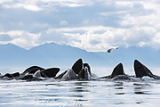 humpback whales, Megaptera novaeangliae, bubble net feeding on herring, with sea gull trying to snatch fish; baleen can be seen in the open mouths of some of the whales; Kupreanof Island, Frederick Sound, Inside Passage, southeastern Alaska, USA