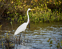 Great Egret. Black Point Wildlife Drive, Merritt Island National Wildlife Refuge. Image taken with a Nikon D3x camera and 300 mm f/4 lens (ISO 160, 300 mm, f/4, 1/1000 sec).