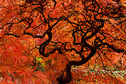 A Japanese maple tree (Acer palmatum) displays its fall colors in the Washington Park Arboretum in Seattle, Washington. This tree, with its lacy leaves and drooping habit, is of the dissectum cultivar.