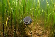 American Eel<br /> <br /> Sean Landsman/Engbretson Underwater Photography