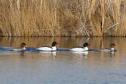 Four common mergansers (Mergus merganser) swim on South Teal Lake in the Columbia National Wildlife Refuge near Othello, Washington. The two white birds in the middle are males displaying breeding plumage. The mergansers at the ends are non-breeding adult males.