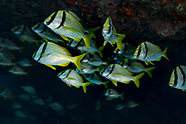 Porkfish (Anisotremus virginicus)