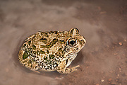 Knocking sand frog (Tomopterna krugerensis)<br /> Marataba, A section of the Marakele National Park, Waterberg Biosphere Reserve<br /> Limpopo Province<br /> SOUTH AFRICA<br /> HABITAT & RANGE: Variety of habitats in savanna.