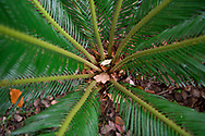 Close up of some details of the Cycas sp. East Lake Greenway park, Wuhan, Hubei, China