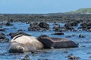 Hawaiian monk seal, Neomonachus schauinslandi, formerly Neomonachus schauinslandi ( CriticallyEndangered, endemic species ), 8-9 year old female, nursing 5 week old pup, Kaiole Bay, near Kamilo Point, Ka'u, Hawaii ( the Big Island )