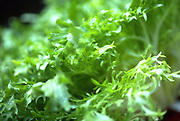 Close up selective focus photograph of some Frisée lettuce