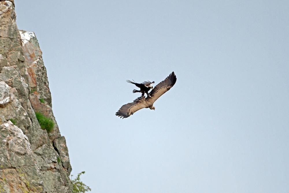 Spanish Imperial Eagle - Aquila adalberti, adult attacking Griffon Vulture - Gyps fulvus