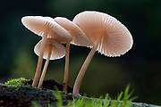 A wide-angle view of a group of rooting bonnet-cap fungus (Mycena galericulata) showing the stucture and pinky-colouration of the gills. Growing on a rotting tree branch in a Norfolk wood in late autumn