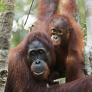 Orang-utan (Pongo pygmaeus) mother with baby. Tanjung Puting National Park. Borneo