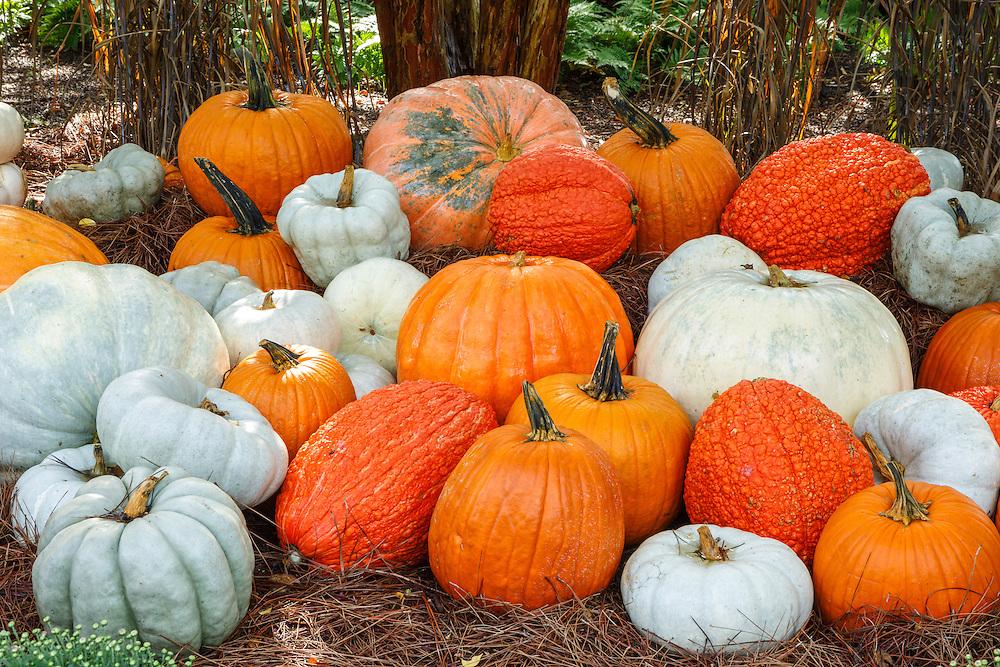 Autumn Pumpkin Variety