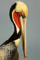 A portrait of a brown pelican (Pelecanus occidentalis)..San Diego, California, USA.