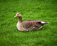 Graylag Goose (Anser anser). Oslo, Norway. Image taken with a Nikon D4 camera and 85 mm lens.