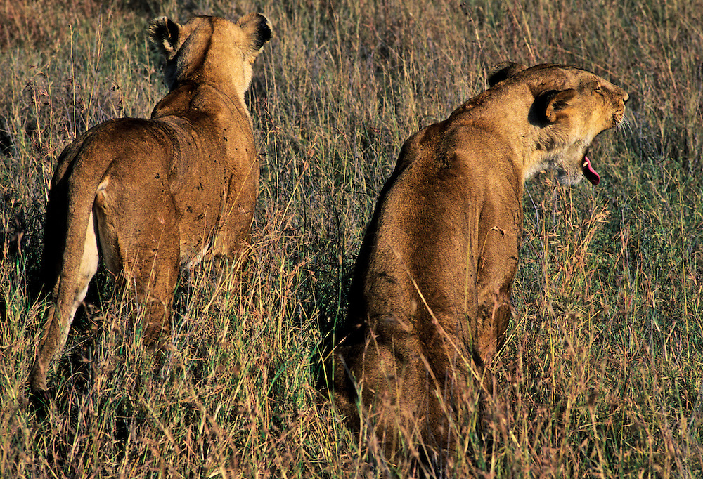 Two female lions stalking their prey in the grassland.