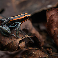 Endemic to the Amazon Basin, the Reticulated Poison Frog (Ranitomeya ventrimaculata) is a small species, reaching only 2cm in length. Adults live on the forest floor but venture up to 40m in the canopy to deposit their eggs in the water-filled bromeliads. Yasuní National Park, Ecuador.