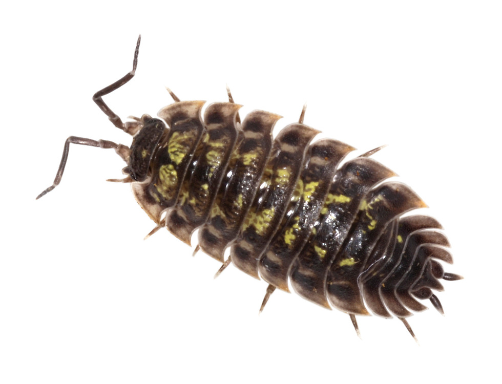 WOODLOUSE<br /> ONISCUS ASELLUS