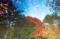 Reflection of colourful trees and leaves in the autumn sunshine at the pond in Pollok Park, Glasgow.