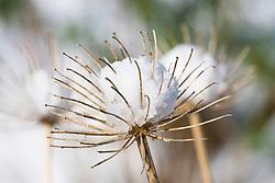 Allium seedhead covered in snow