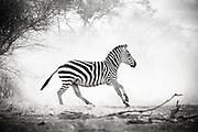 A zebra in the Selenkey Reserve, near Amboseli National Park in Kenya