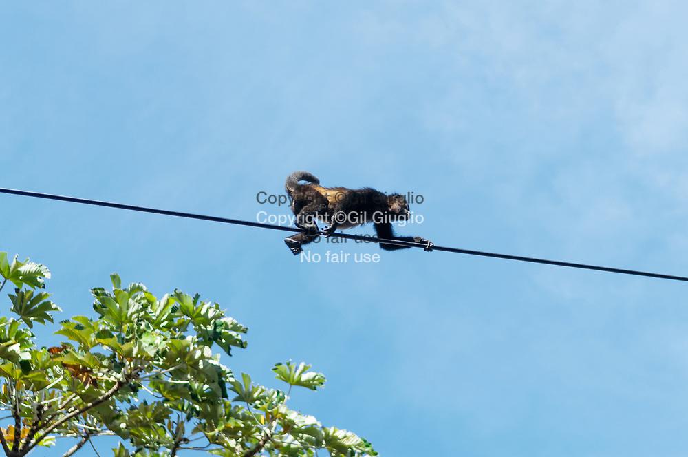 Costa Rica, province de Guanacaste, singes araignées sur la route de Tilaran // Costa Rica, Guanacaste  province, spider monkeys on Tilaran road